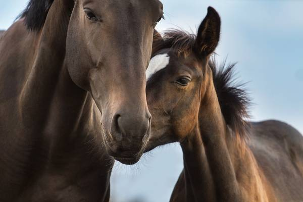 chestnut mare and foal looking cute